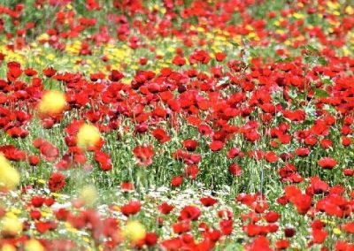Wildflowers in Israel